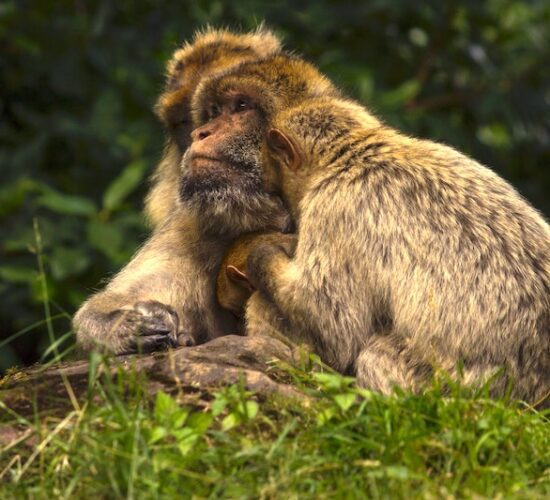 Barbary Macaques in Algeria