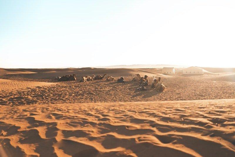 zagora desert camels