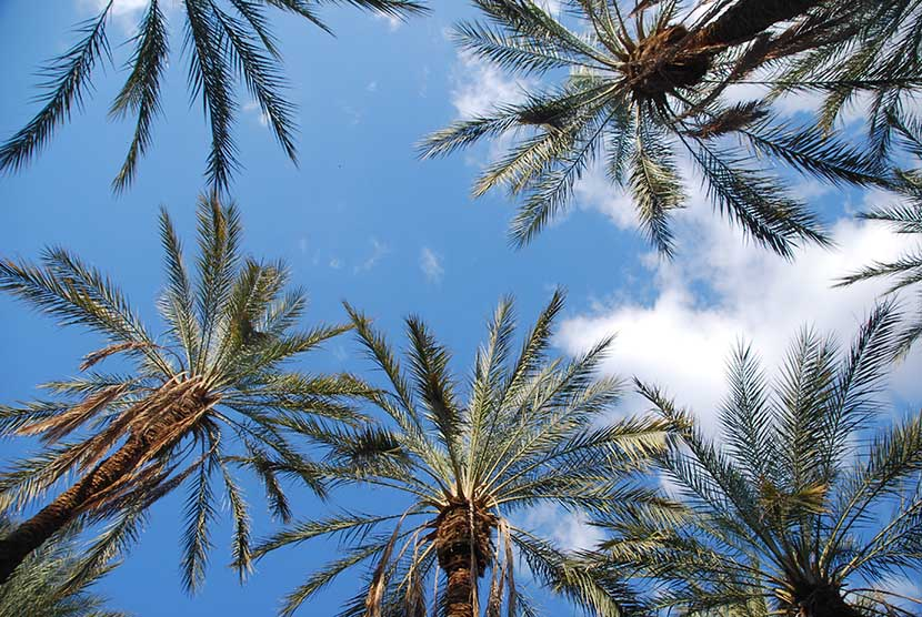 Date Palms in Tozeur