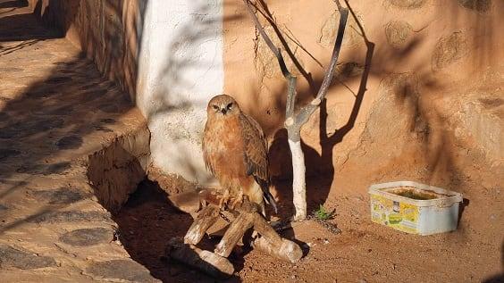 Falcon in M'Zab Valley