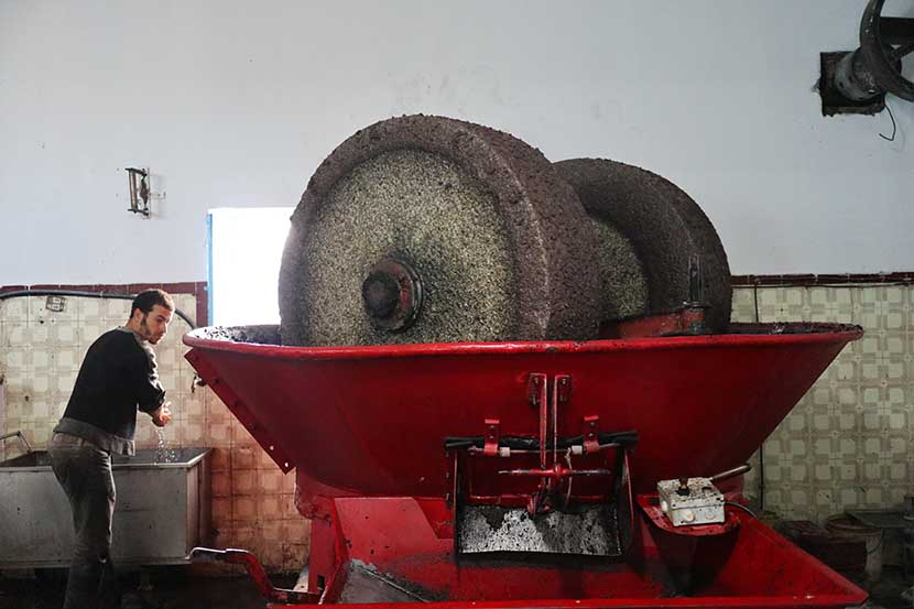 Workers Preparing Olives for Pressing