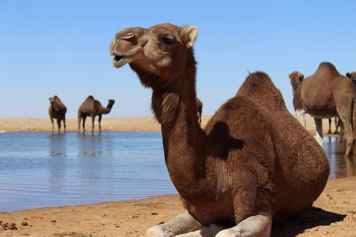 Camel at oasis